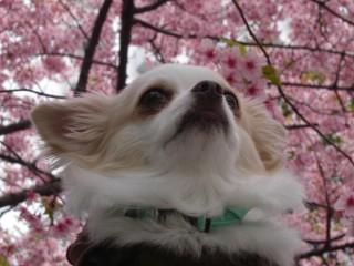 チワワ 桜