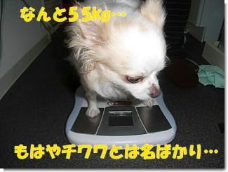 チワワ 体重計